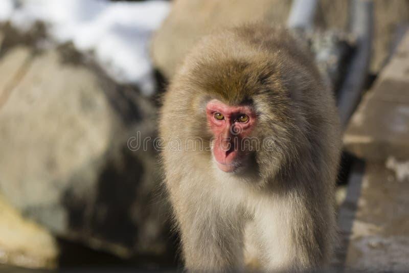 Sunlit Wild Snow Monkey stock photos