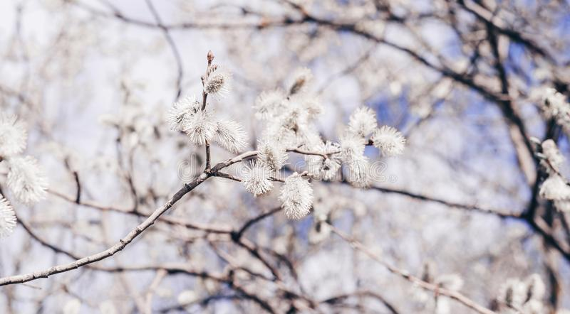 Sunlit willow branches in bloom on blue sky and white clouds background. Close-up stock images