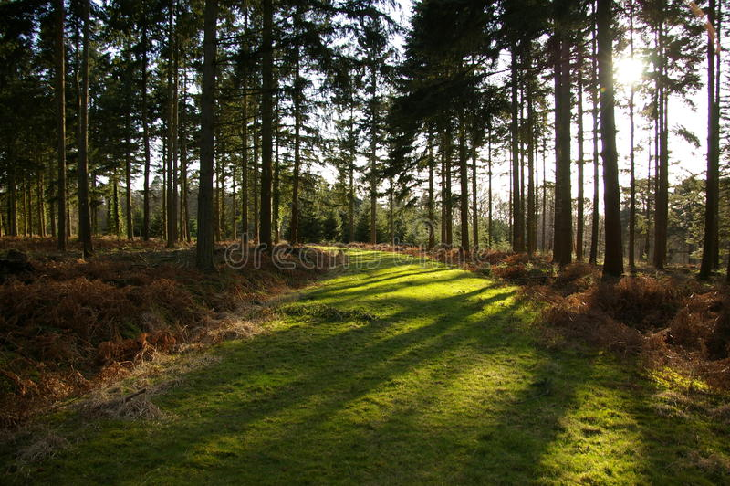 Sunlit woodland path. Autumn sunlit woodland path with pine trees stock photos