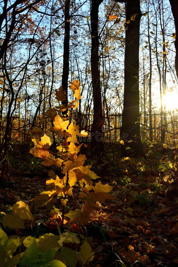 Sunlit young maple tree with golden foliage in the forest. Beautiful view in autumn royalty free stock photography