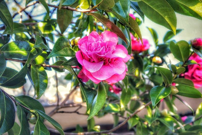 Sunmer rosa completo del fiore di bellezza fotografia stock