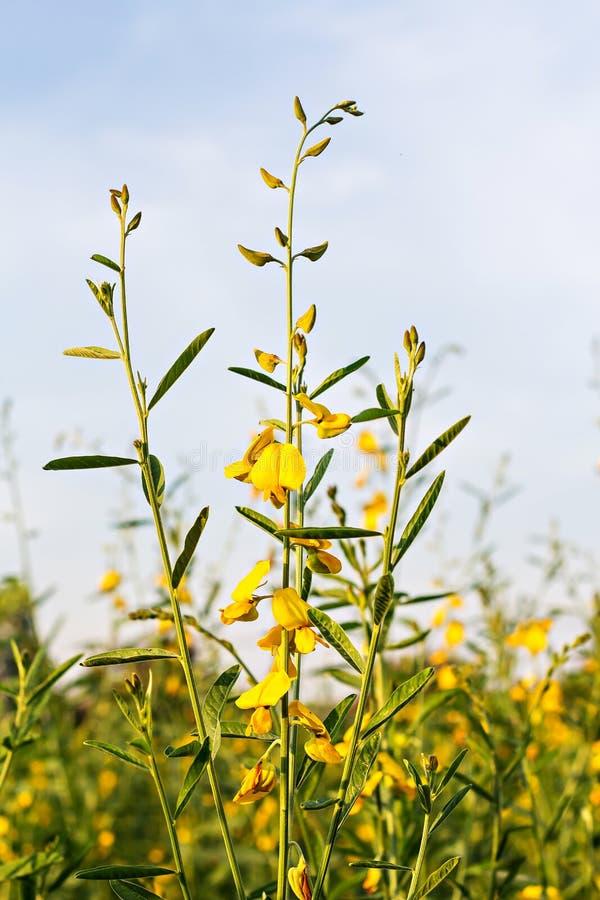 Sunn konopie (Crotalaria juncea) zdjęcie royalty free