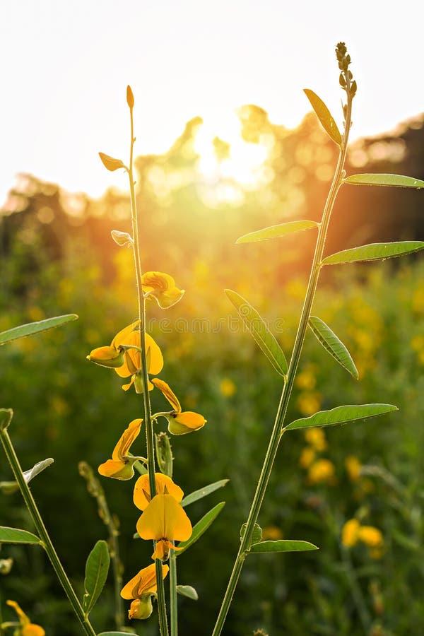 Sunn konopie (Crotalaria juncea) fotografia royalty free