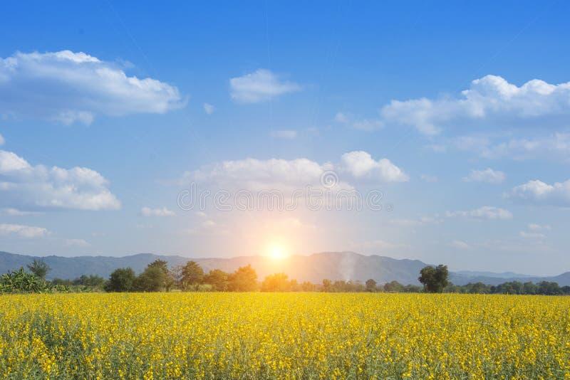 Sunn konopie lub Crotalaria juncea żółty kolor zdjęcia stock