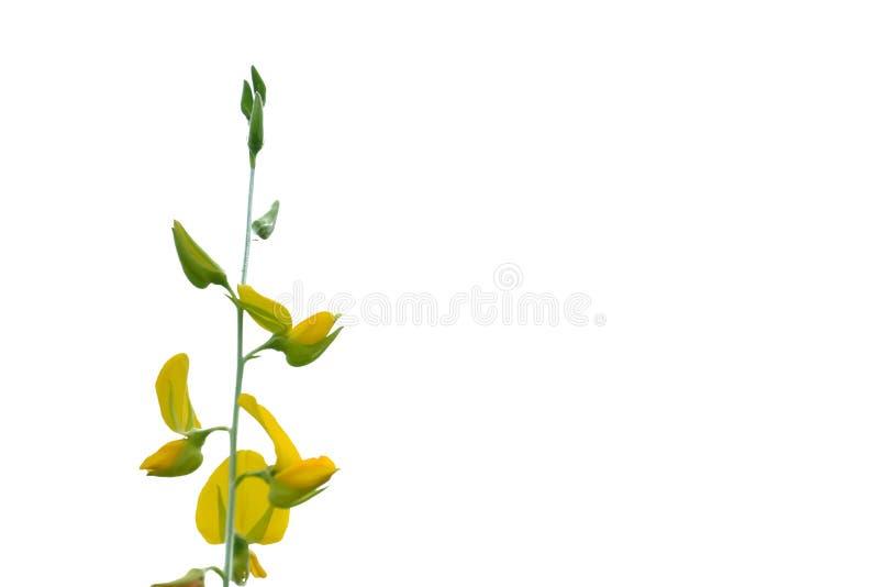 Sunn kwiatu Konopiany dorośnięcie w ogródzie z tropikalnymi drzewami na białym nieba tle zdjęcia stock