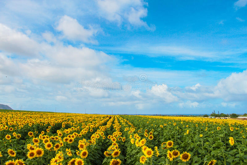 Sunnies. Sunflowers in the Summer, on the North Shore of HawaiÊ»i stock photo