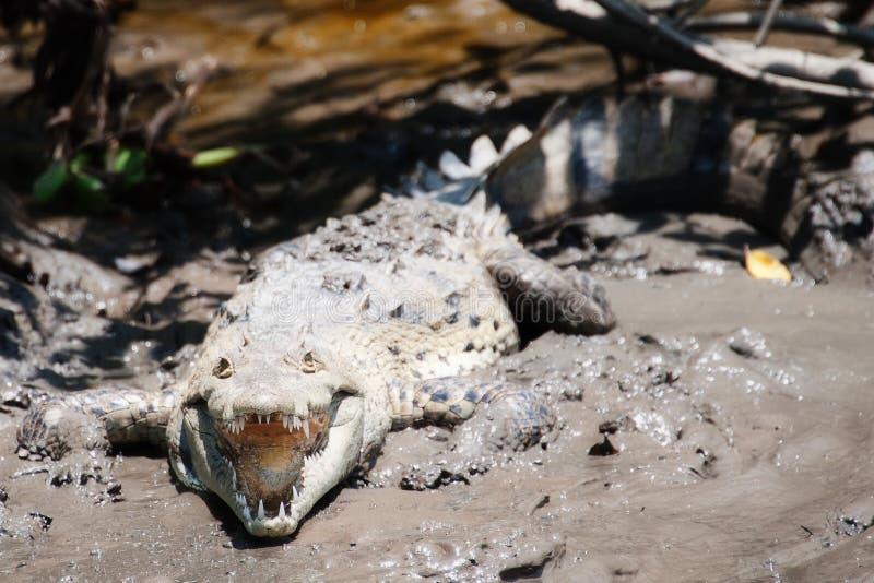 Download Sunning Croc zdjęcie stock. Obraz złożonej z krokodyl - 28953534
