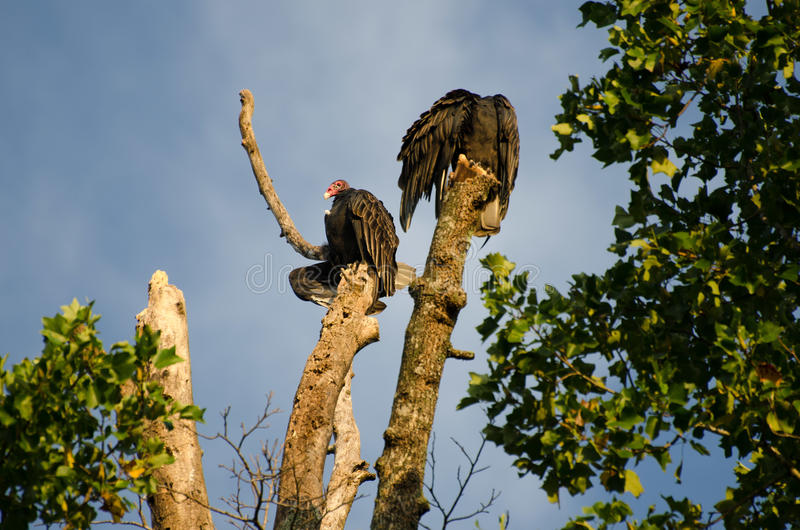 Sunning Turkey Vultures. Turkey Vultures bask in the rising sun on a Sweetgum snag in Athens Georgia stock photography