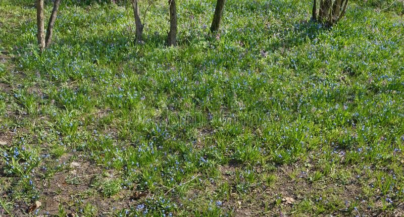 On the sunny April forest glade bloom thousands of blue spring royalty free stock photography