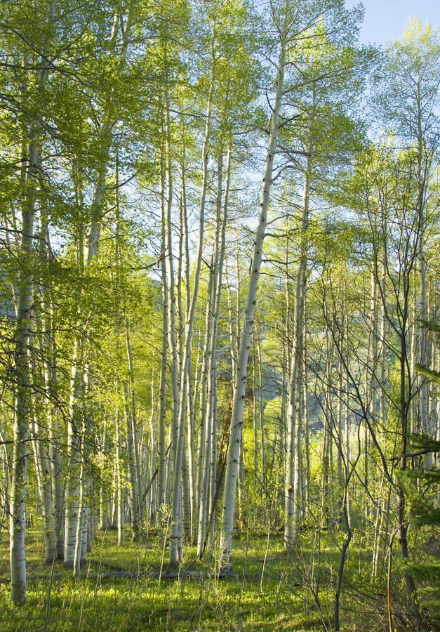 Sunny Aspen Forest fotos de archivo libres de regalías