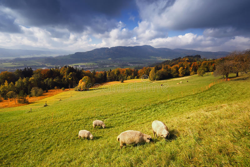 Sunny autumn alpine view with flock of sheeps stock images