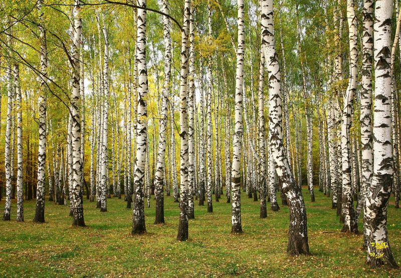 Sunny autumn birch trees. In September stock images