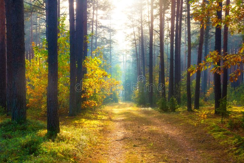 Sunny autumn forest. Scenery forest. Fall. Trees in sunlight. Autumn nature landscape stock images