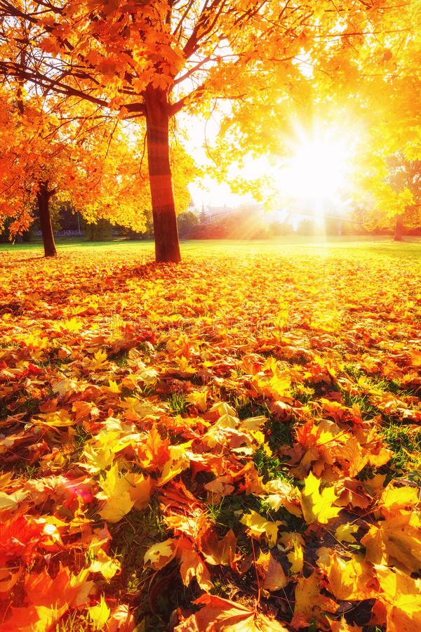 Sunny autumn maples in the park royalty free stock images