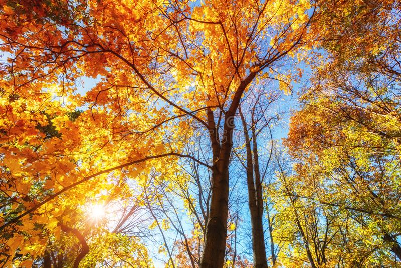 Sunny autumn maples over blue sky stock photo