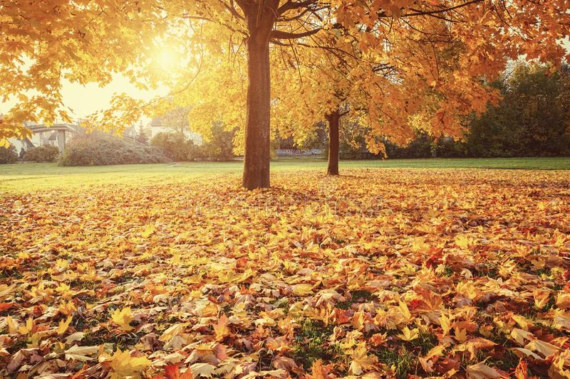 Sunny autumn maples in the park stock image