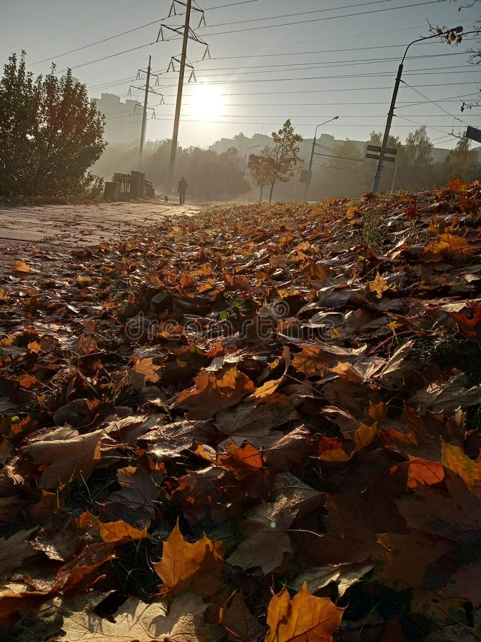 Sunny autumn morning, silhouette of the walking man, water drops on leaves, colored carpet of fallen leaves on ground. stock images