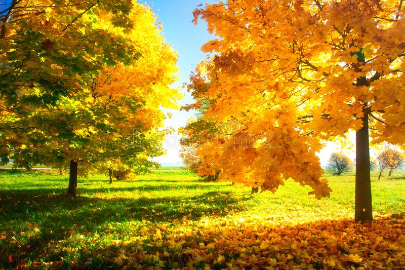 Sunny autumn nature landscape. Bright clear day in autumn park. Yellow trees in green meadow. Scenic Fall royalty free stock photos