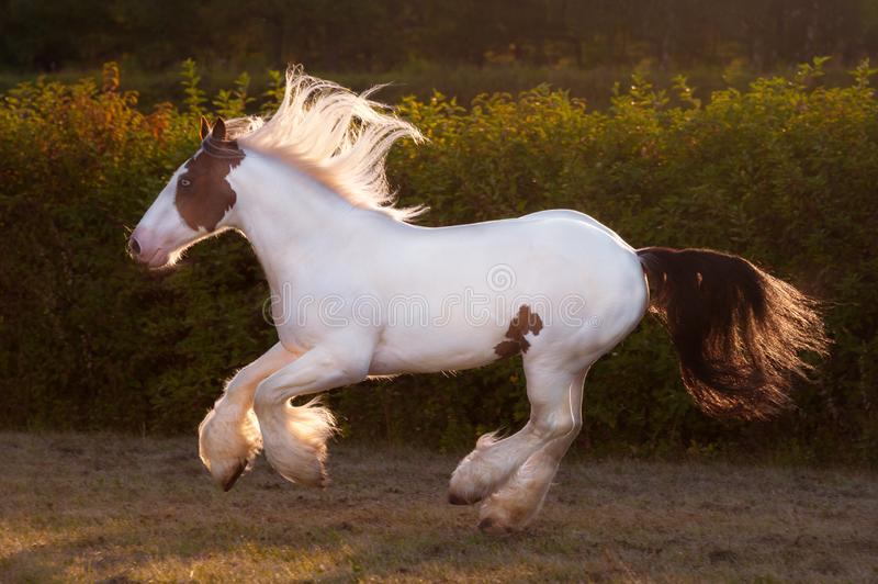 Sunny beautiful drumhorse stallion trotting in sunshine green meadow royalty free stock image