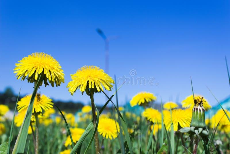 Sunny Blue Sky über gelben Löwenzahn-Blumen lizenzfreie stockbilder