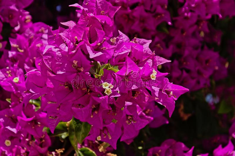 Bright pink Bougainvillea flowers in the garden. Sunny bright pink Bougainvillea flowers on a bush in the garden royalty free stock image