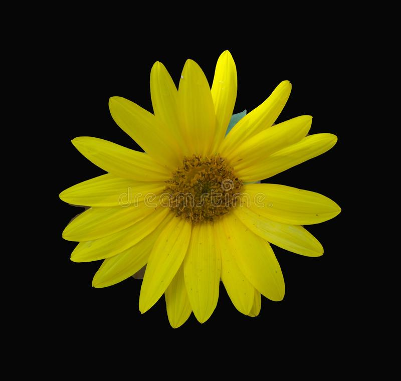 Sunny bright yellow sunflower closeup against a dramatic black background. A small bright yellow sunflower shown closeup centered in a dramatic black background royalty free stock photo