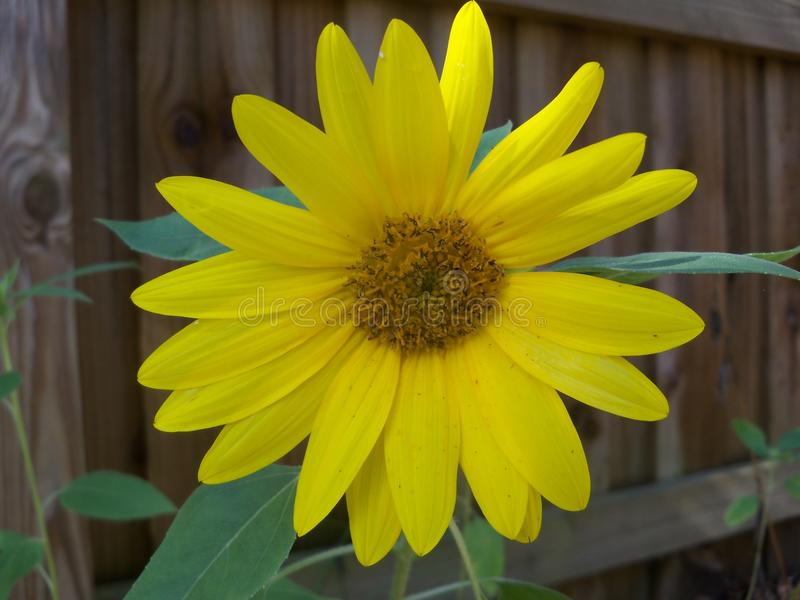 Sunny bright yellow sunflower closeup. A small bright yellow sunflower shown closeup against a brown fence royalty free stock image