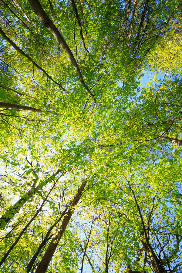 Free Sunny Canopy Of Tall Trees. Sunlight In Deciduous Forest, Summer Stock Photos - 87715093