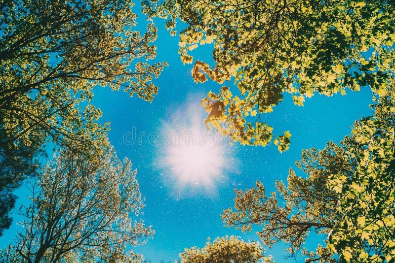 Sunny Canopy Of Tall Trees Luz solar na floresta decíduo, natureza do verão Filiais superiores da árvore Opinião de baixo ângulo imagens de stock
