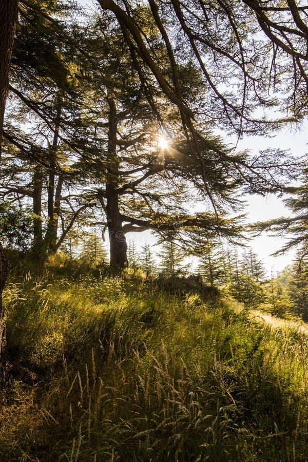 Sunny Cedar-bos - Libanon stock fotografie