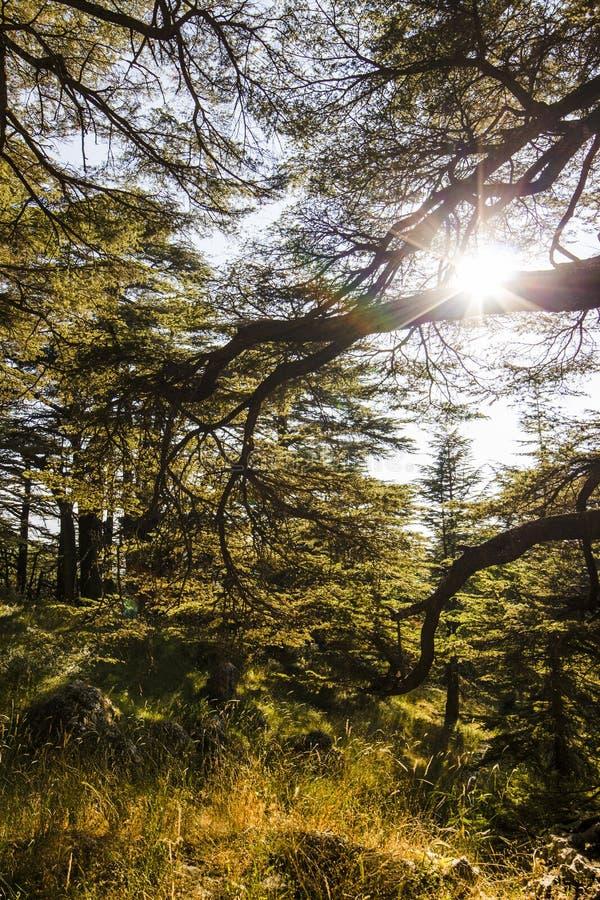 Sunny Cedar-bos - Libanon royalty-vrije stock fotografie