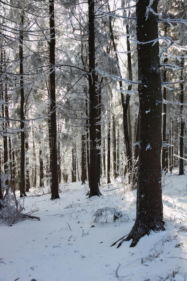 Download A Sunny Christmas Day. Snow Winter Forest Royalty Free Stock Photography - Image: 16977647