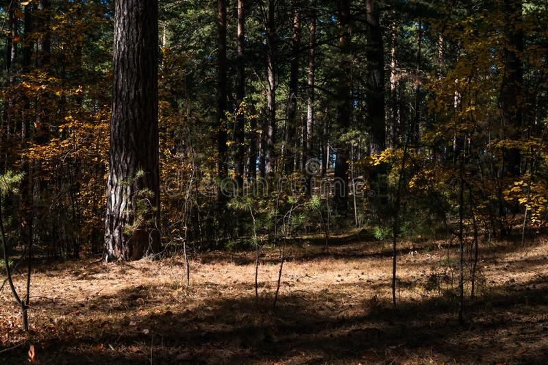 Sunny Clearing In The Forest On An Autumn Day With Pine Trees Shadows royalty free stock images