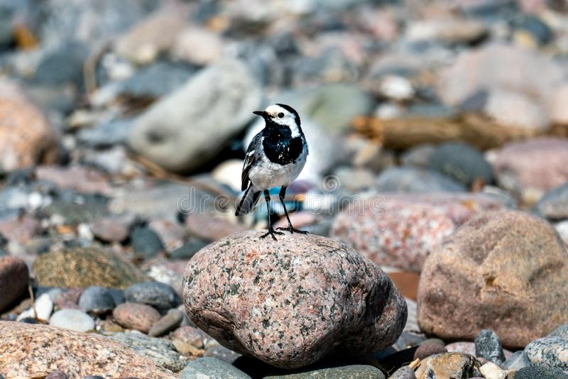 Sunny close up of a pied wagtail on a beach. Sunny close up of a pied wagtail motacilla alba on a stone on a beach royalty free stock photography