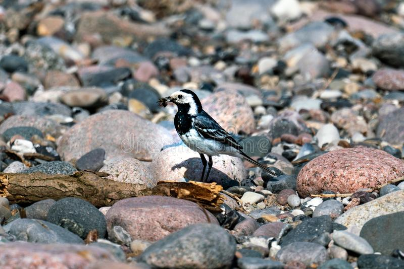 Sunny close up of a pied wagtail on a beach royalty free stock photos