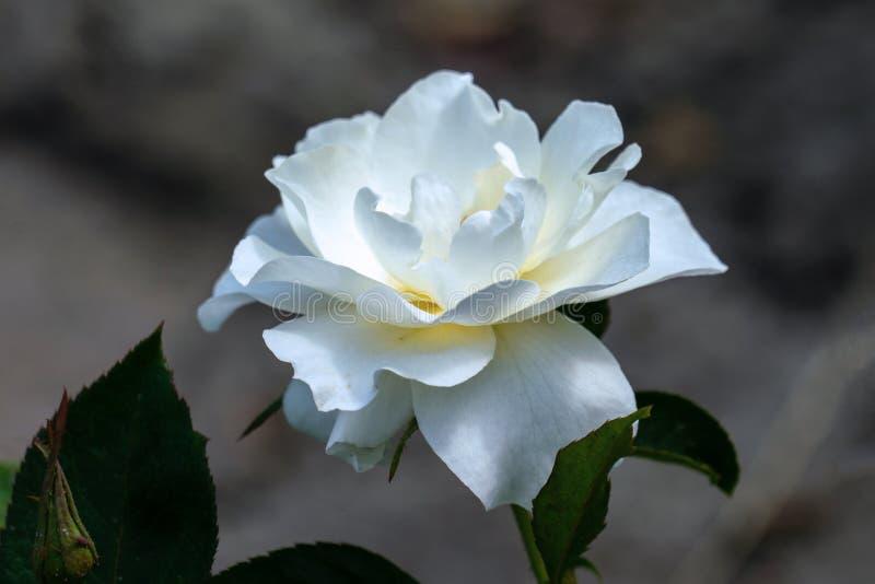 Sunny close up of a single white class act floribunda rose head royalty free stock photography