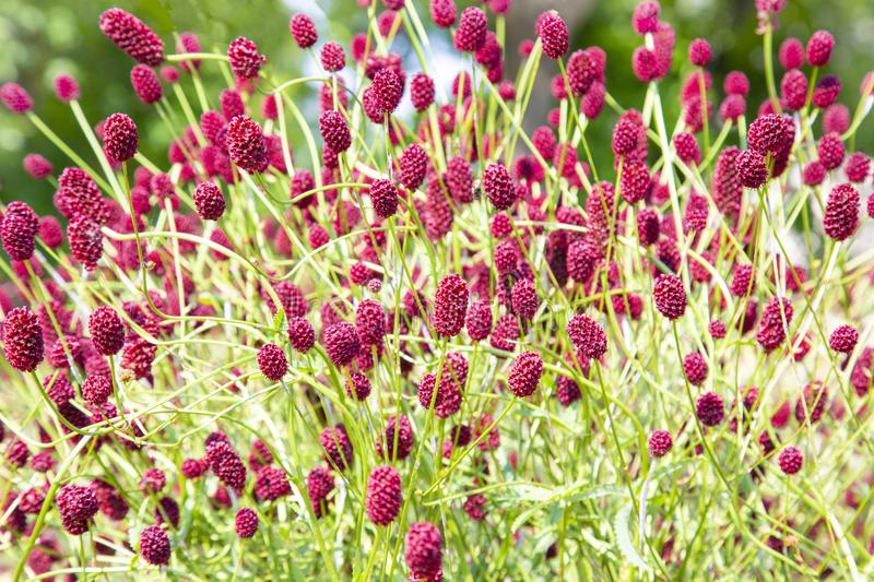 Sunny colorful closeup shot of dense wildflower including lots of great burnet flowers royalty free stock images