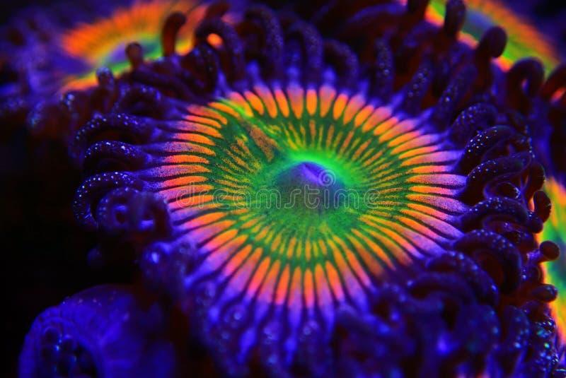 Sunny D - Zoanthus polyps kolonie zacht koraal in rif aquarium tank stock foto's