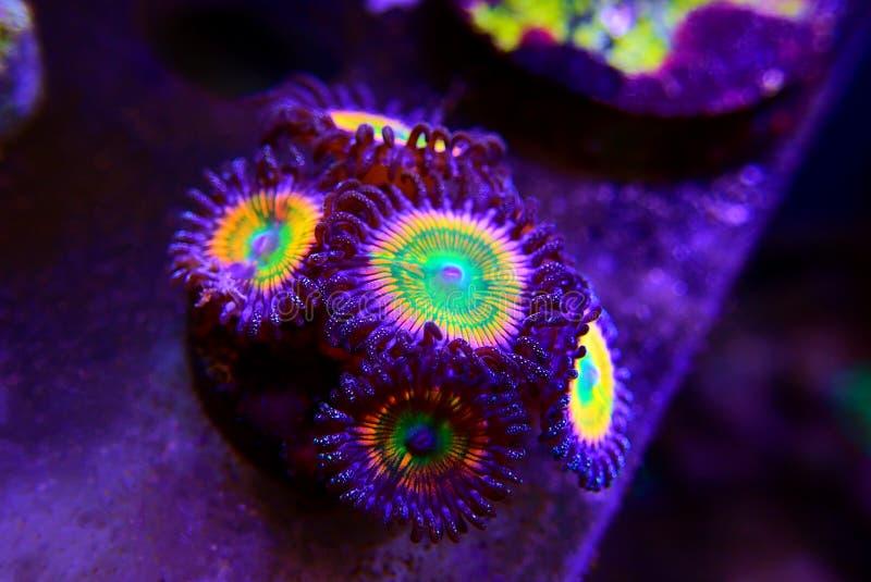 Sunny D - Zoanthus polyps kolonie zacht koraal in rif aquarium tank royalty-vrije stock foto