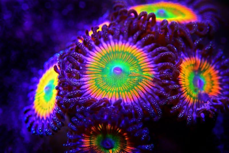 Sunny D - Zoanthus polyps kolonie zacht koraal in rif aquarium tank royalty-vrije stock fotografie