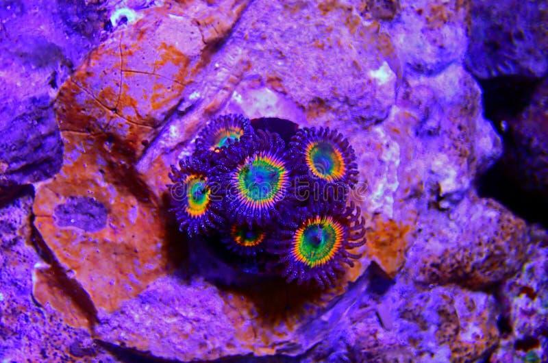 Sunny D - Zoanthus polyps kolonie zacht koraal in rif aquarium tank royalty-vrije stock afbeeldingen
