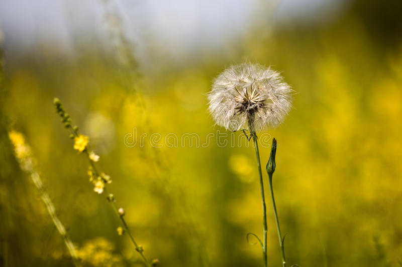 Download Sunny Dandelion On The Field Stock Photo - Image: 15309502