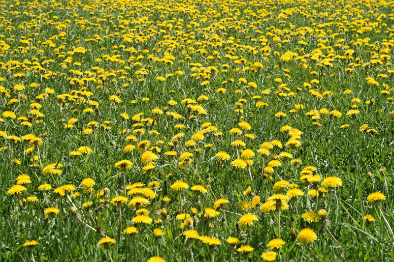 Sunny dandelion lawn. In springtime. Flower background royalty free stock photography