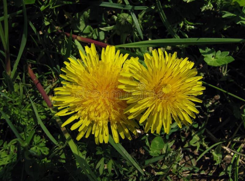 Sunny Dandelions im Gras lizenzfreie stockbilder