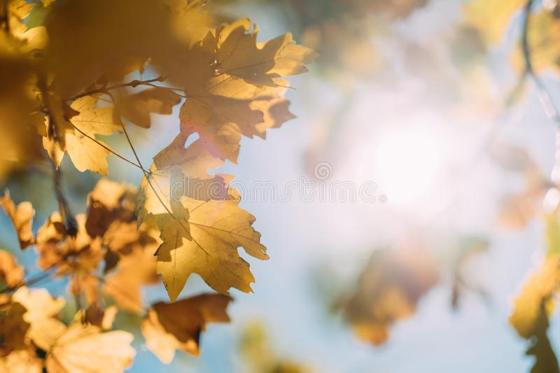 Sunny day autumn forest yellow leaves background stock images