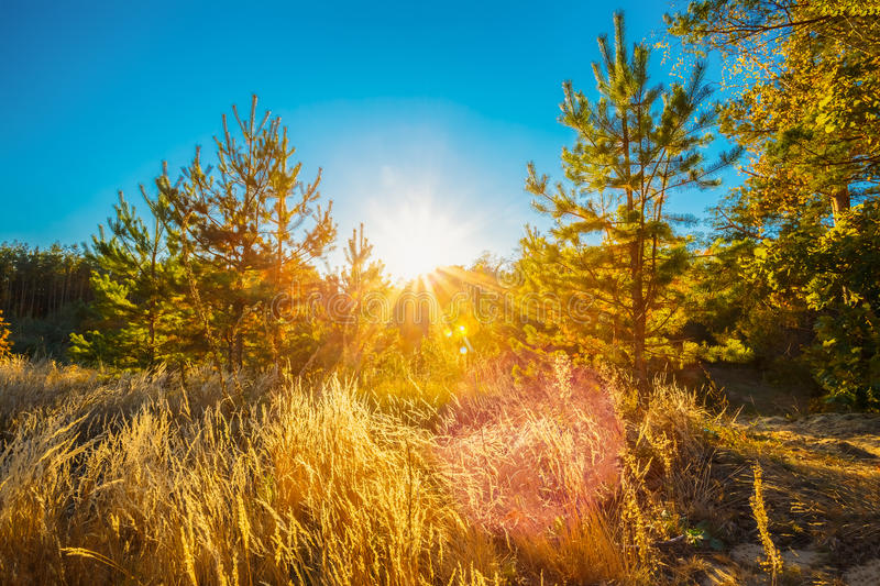 Sunny Day In Autumn Sunny Coniferous Forest Trees. Nature Woods. stock photo
