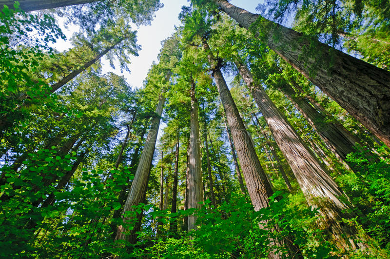 Sunny day in the Coastal Redwoods royalty free stock photo