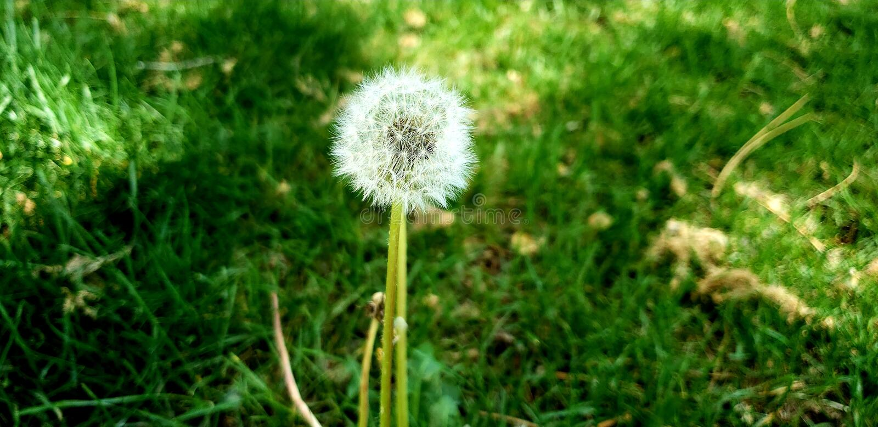 Sunny day dandelion stock photography