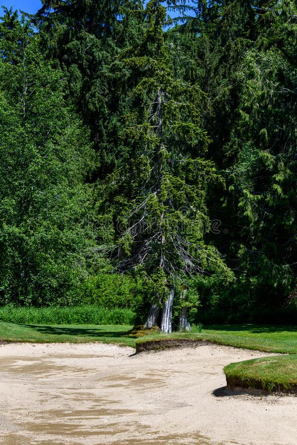 Sunny day on the golf course, sand trap with woodland in the background royalty free stock photos