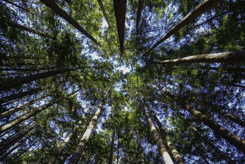 Sunny Day Hike i skogen för högväxta träd arkivbild